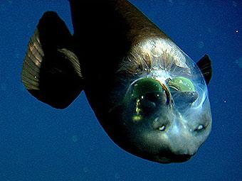 Рыба с прозрачной головой Macropinna microstoma