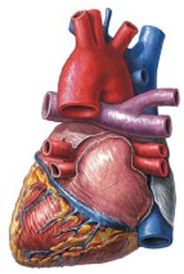 Биение сердца играет ключевую роль в формировании клеток крови