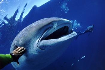 Китовые акулы оказались длиннее, чем считалось