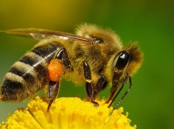 Почему пчёлы-царицы такие большие