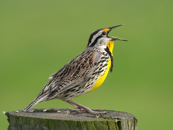 Жаворонки  эти птицы большую часть времени проводят