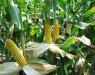 """""""Кукурузный"""" ген повышает качество сырья для биотоплива"""