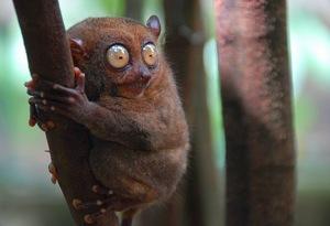 У филиппинского долгопята открылись способности к ультразвуковому общению