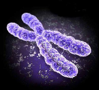 где половые хромосомы: