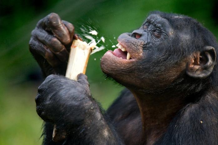 Шимпанзе бонобо обрабатывают камень подобно первым людям