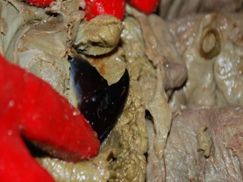 Свойства клюв кальмара – новым имплантатам