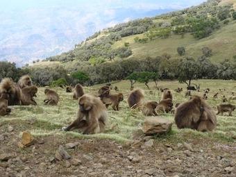 Причмокивание губами у обезьян гелад - «недостающее звено» эволюции языка?