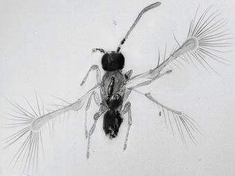 Новый вид мимарид - кандидат на звание самых маленьких насекомых планеты