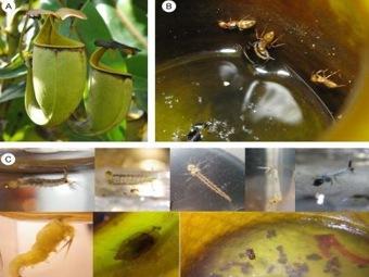 Зачем хищным растениям Борнео сотрудничать с муравьями?