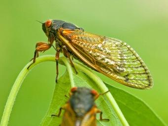 Ученые ВМФ США надеются разгадать тайну пения цикад