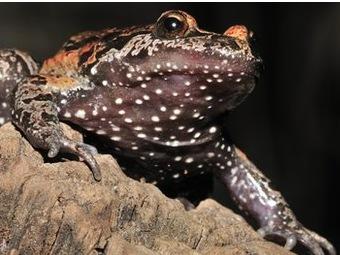 Вымершая израильская лягушка, вновь открытая в 2011 году, оказалась «живым ископаемым»