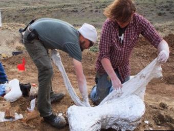 Уникальная находка в Вайоминге: три скелета трицератопса