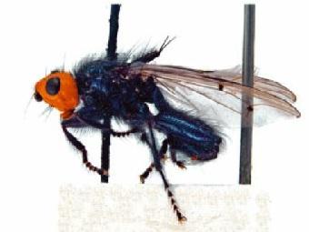«Воскресшая» в 2010 году муха - специалист по полуразложившимся трупам