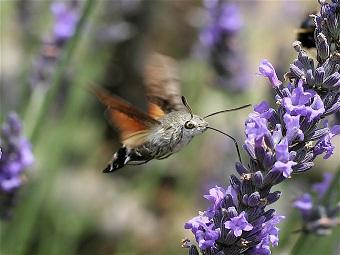 Бабочки-бражники путают летучих мышей собственным ультразвуком