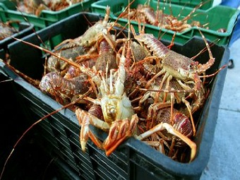 Глобальное потепление приводит омаров к каннибализму