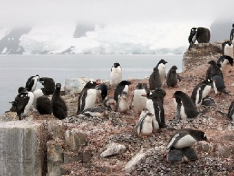 Пингвинам Адели хорошо жилось в малый ледниковый период