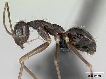 Нам угрожают инвазивные виды муравьев
