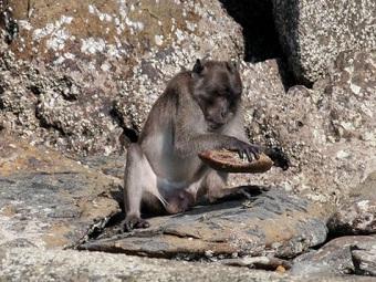 Макаки-крабоеды рискуют потерять навык пользования каменными орудиями