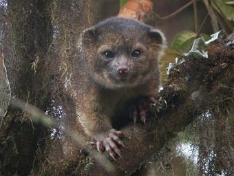 Олингито: впервые за 35 лет открыт новый вид хищных млекопитающих
