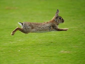 Зачем кролику яркий пушистый хвост?