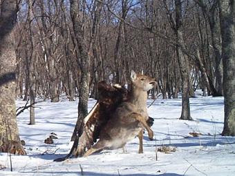 Смерть Бэмби: беркут ловит молодого оленя