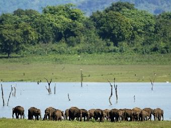 Записи тигриного рыка отпугивают стада слонов-мародеров
