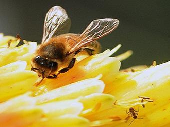 Муравьи – ближайшие родственники пчёл, а не ос