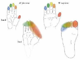 Что появилось раньше – умелые руки или прямохождение?