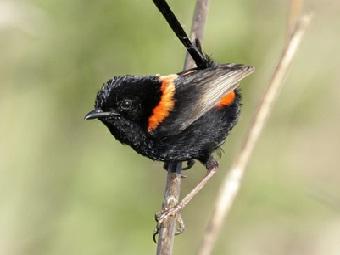 Изменяя мужьям, птицы малюры сохраняют целостность вида