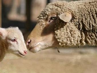 Регуляция кортизона меняет длину и густоту овечьей шерсти
