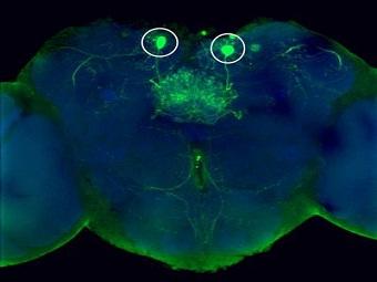 Как нейроны управляют нашей реакцией на (аппетитные и мерзкие) запахи