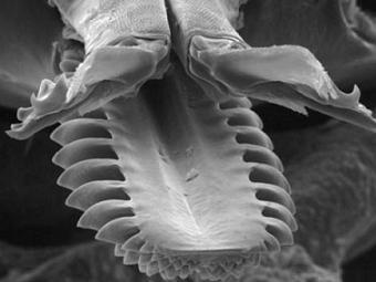 Видеокамера и микроскоп раскрывают секреты «хватки» клещей
