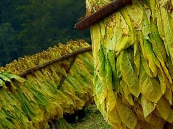Генетически модифицированный табак - сырье для производства биотоплива