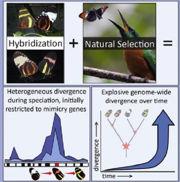 Коста-риканские бабочки помогли измерить скорость эволюции