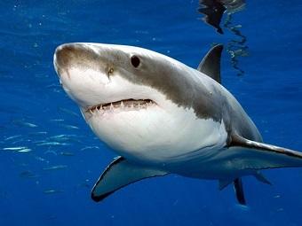 Первое генетическое исследование белой акулы принесло поразительные результаты