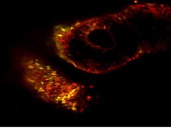 Ученым наконец удалось создать «обнуленные» стволовые клетки