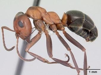 Шеи муравьев выдерживают нагрузки, в 5000 раз превышающие их собственный вес