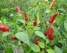 Транспозоны, эволюция и одомашнивание: секвенирован геном перца