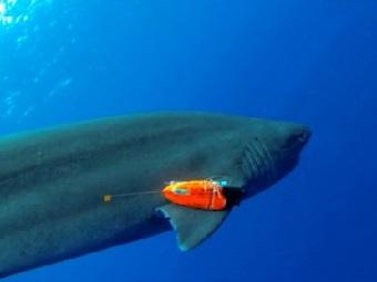 Акулы носят на плавниках видеокамеры и проглатывают датчики