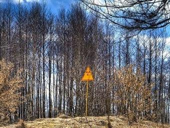 Мертвый лес вокруг Чернобыля не разлагается