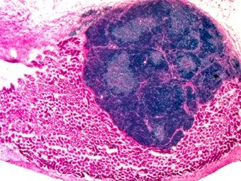 Полностью функционирующий орган впервые был выращен внутри мыши
